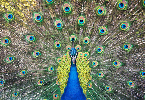Fototapeta premium Portrait of beautiful peacock with feathers out