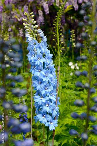 Bright blue delphinium flower Fototapete