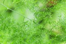 Ferns In Nature (asparagus Set...