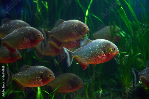 Valokuva  Piranha fish underwater. Piranha closeup