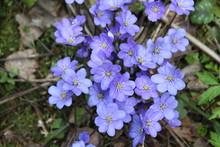 Violet Forest Flower Hepatica ...