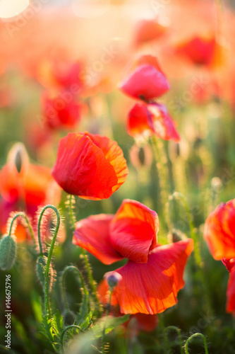 Poster Poppy Nature, spring, summer, blooming flowers concept - close-up on flowering poppy in the spring field, at sunny day with green grass background vertical. Flowers background.