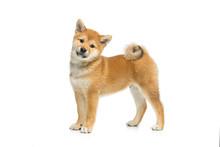 Beautiful Shiba Inu Puppy Isol...