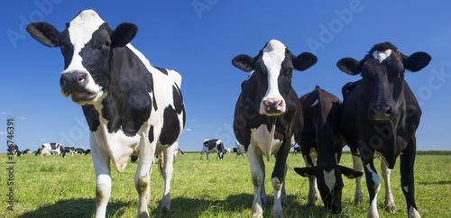 Wall Murals Cow Cows on green grass