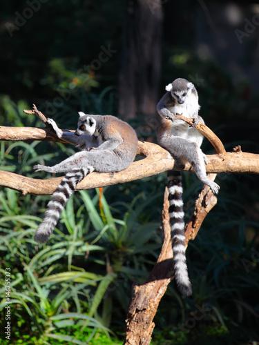 Valokuva  Two Tailed lemurs