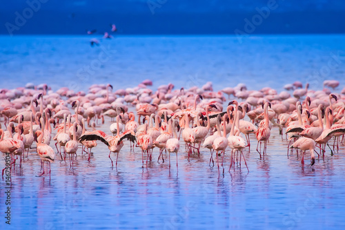 Tuinposter Algerije Pink flamingo. Flock of flamingos on the lake. Africa. Birds of Africa.