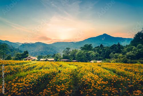Pinturas sobre lienzo  Yellow Flower Field Evening sunset. Yellow flower field marigold