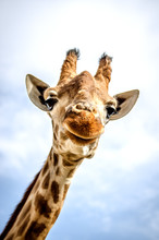 A Smiling Giraffe Is Looking A...