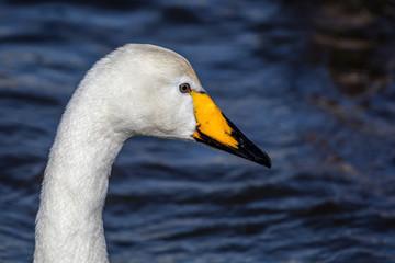Whooper Swan, a large Northern Hemisphere swan, in the lake Tjornin in Reykjavik, Iceland.