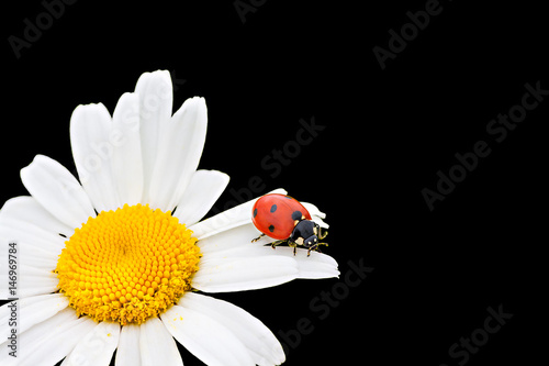 ladybug sits on a chamomile flower a close up