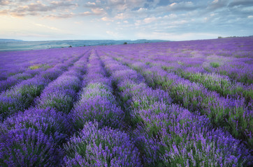 Obraz na Szkle Style Lavender beautiful meadow.