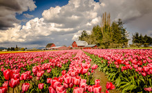 Red-White Tulips