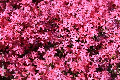 In de dag Candy roze 芝桜