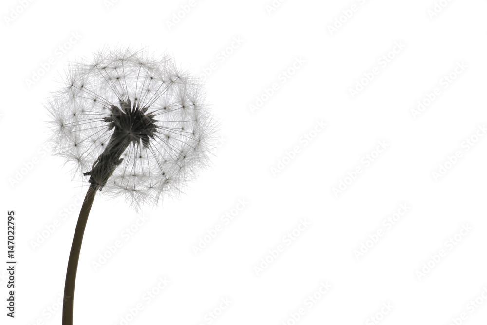 Fototapety, obrazy: dandelion seeds on white