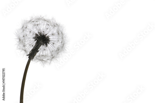 Canvas Prints Dandelion dandelion seeds on white