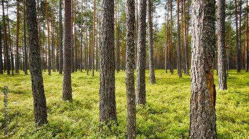 Fotografia, Obraz  Kiefernwald (Pinus sylvestris) in Südnorwegen westlich von Vikersund in der Gemeinde Modum