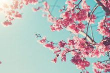 Pink Blossoms On The Branch Wi...