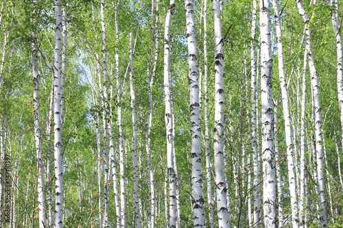 Tuinposter Berkbosje Beautiful landscape with young juicy birches with green leaves and with black and white birch trunks in sunlight in the morning in spring
