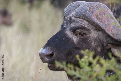 Staande foto Buffel African buffalo or Cape buffalo (Syncerus caffer) portrait. Limpopo Province. South Africa