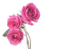 White Background With Pink Roses Bouquet