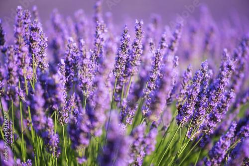 Spoed Foto op Canvas Lavendel Lavender nature background, purple flowering field in Provence, Plateau de Valensole, France. Selective focus