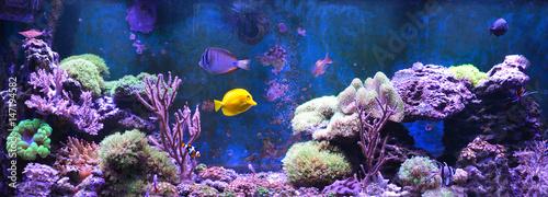 Poster Sous-marin Reef tank, marine aquarium. Blue aquarium full of plants. Tank filled with water for keeping live underwater animals. Gorgonaria, Sea Fan. Clavularia. Zoanthus. Zebra apogon. Zebrasoma. Percula.