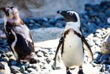Penguin In San Diego Zoo
