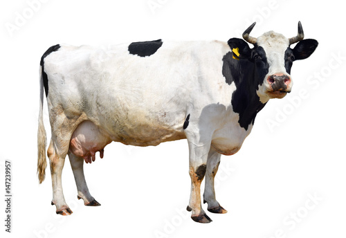 Photo Stands Cow Spotted black and white cow full length isolated on white. Funny cute cow isolated on white. Cow, standing full-length in front of white background and looking at the camera. Farm animals.