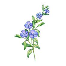 Periwinkle. Branch Of First Spring Flowers - Vínca Mínor. Hand Drawn Watercolor Painting On White Background.