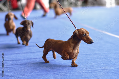 Poster Chien Dachshunds on the dog show
