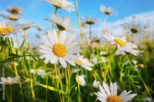 Foto op Canvas Madeliefjes daisies in a meadow