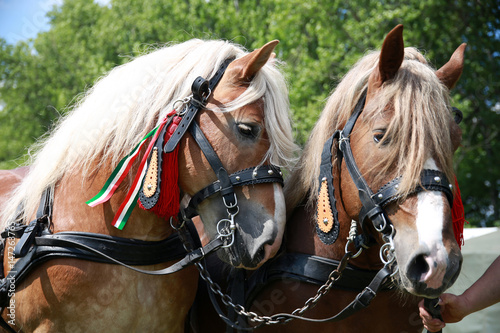 Close up of draft heavy horses in beautiful harness Canvas-taulu