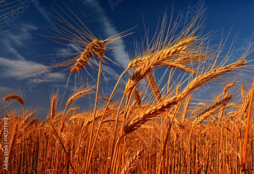 Fotobehang Aan het plafond Wheat field against a blue sky