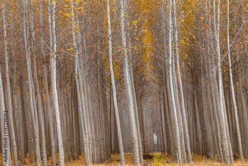 Fotografia, Obraz  Poplar Trees