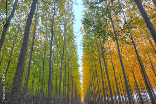 Photo  Poplar trees