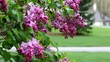 Bunches of pink fragrant Lilacs