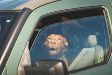 Brown Dog Looking Out Car Window