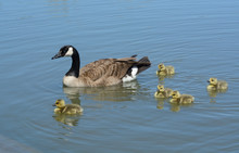 Canada Goose Parent Swimming W...