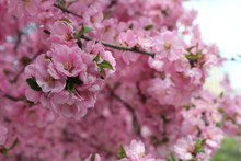 Pink Blossoms In Spring On The Tibetan Plateau, Xining City Qinghai China Asia
