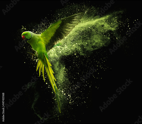 In de dag Papegaai Flying parrot Alexandrine parakeet with colored powder clouds. On black background