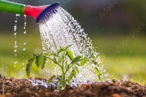 Fotografia Watering seedling tomato in greenhouse garden