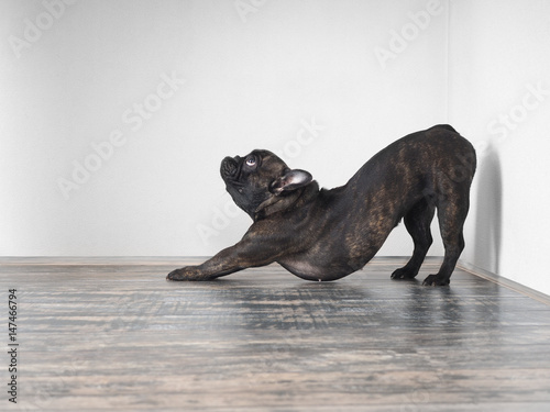 Poster Bouledogue français Dog funny stretches. Funny pose. French bulldog breed