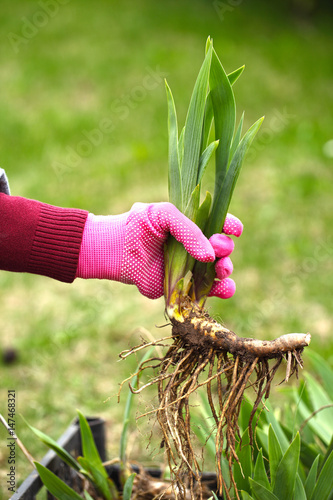The roots of the perennial iris are in the hands of the florist. Transplantation of a beautiful garden plant.