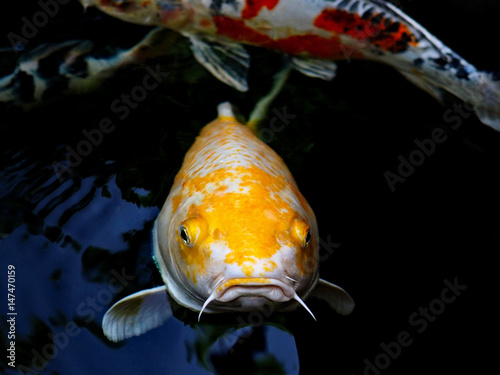 Photo Stands Coral reefs The beautiful koi fish in pond in the garden.
