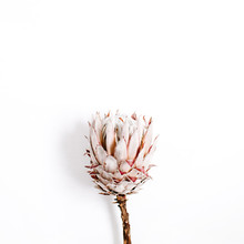 Beauty Protea Flower On White ...