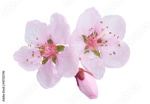 Pink cherry blossom isolated on white background