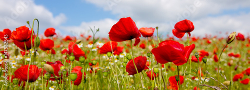Foto op Canvas Poppy Poppies field in rays sun.