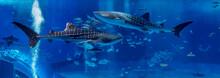 Two Shark Whale Swim In Opposi...