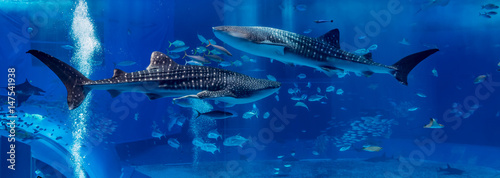 Foto op Canvas Onder water Two Shark Whale swim in opposite site