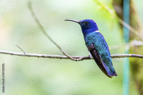 A Male White-necked Jacobin Perched on a Tree in Mindo Ecuador Wallpaper Mural